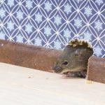 На войне все средства хороши: как избавиться от мышей в доме