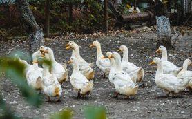 Карантин по птичьему гриппу введен в Ростовской области