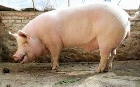 Африканская чума свиней добралась до Пекина