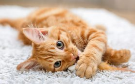 Первая вакцина от аллергии на кошек может быть создана в России уже в этом году