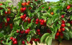 Эти ягоды полезны для сосудов и при гриппе
