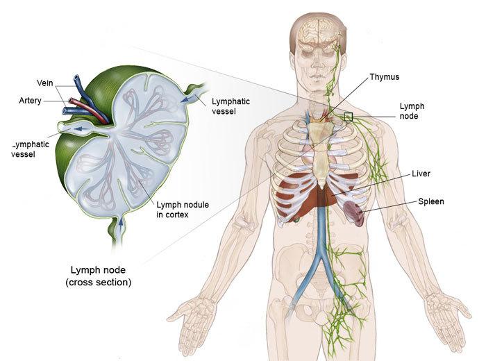 Лимфатическая система: Когда следует беспокоиться?