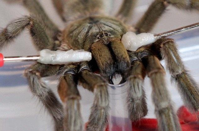 Может ли яд тарантула помочь бороться с болью?