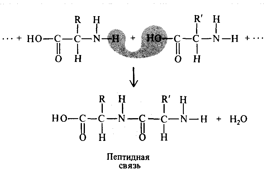 Связь между аминокислотами