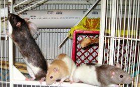 В каких условиях содержать декоративную крысу?
